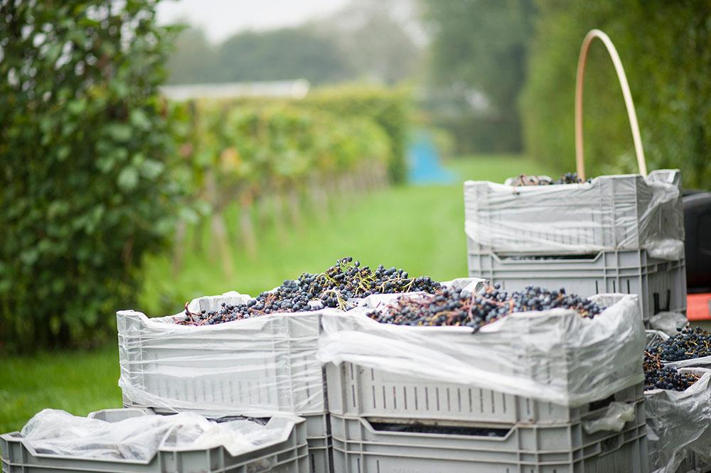 druivenplukken_1